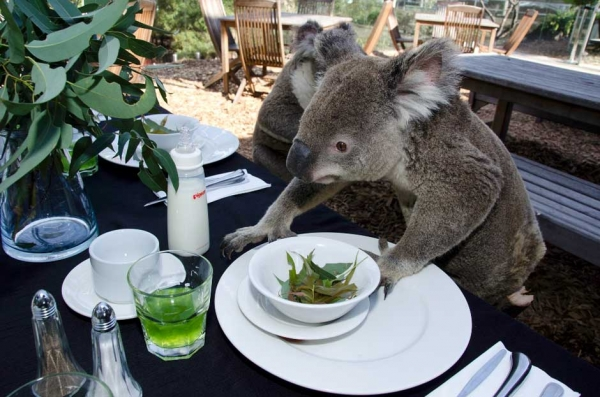 koala-1.jpg